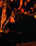 Il BUFALO crolla a terra mentre gli INDIGENI gli tempestano il dorso di colpi di machete.