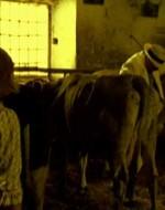 Alfredo è in fondo. Va verso una vacca: ha in mano un secchio e uno sgabello da mungitore.  //  ALFREDO (rivolgendosi bruscamente alla ragazza) : Non vedi com'è gonfia? Mungila.